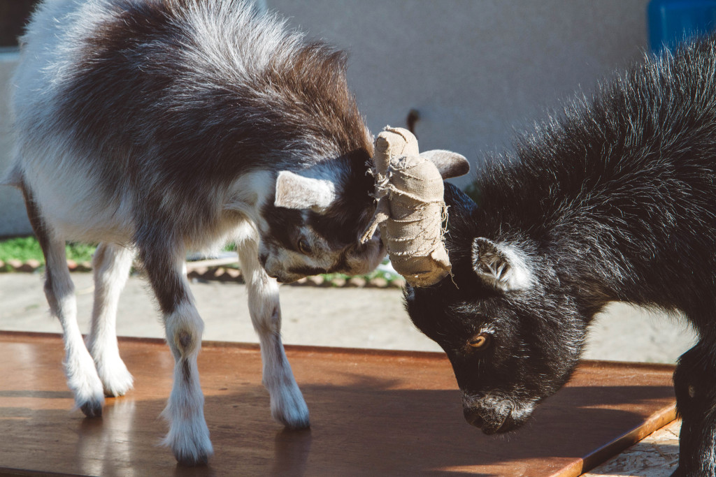 goats_1390